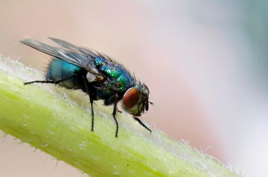 The House Fly