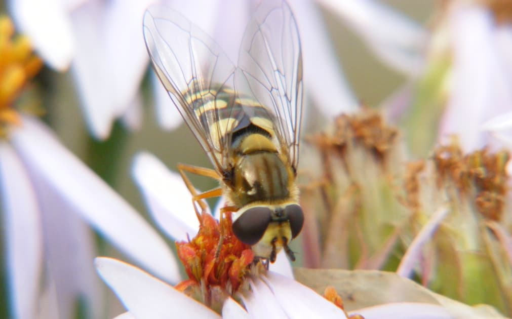 Hoverfly (Credits The Scottish Wildlife Trust)