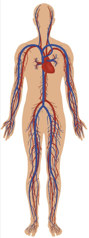 Blood Flow in the Human Body