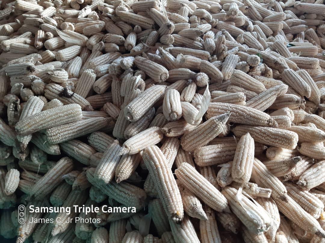 Maize crop after harvest