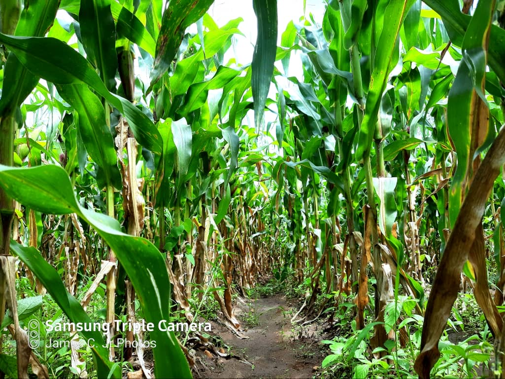 Maize crop before harvesting