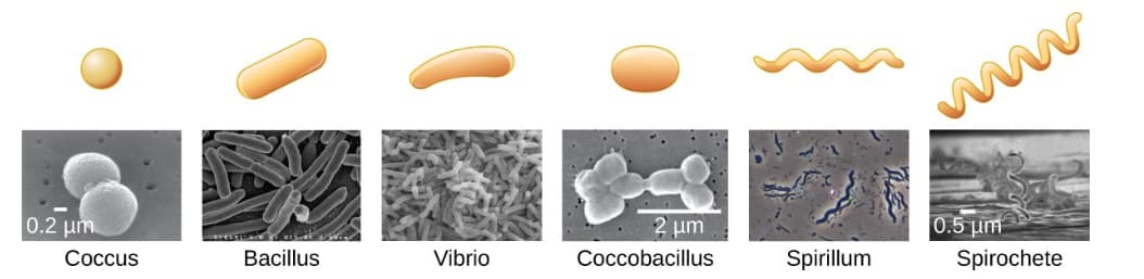 Common Bacterial Shapes