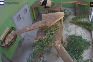 Pandas at Edinburgh Zoo WebCam