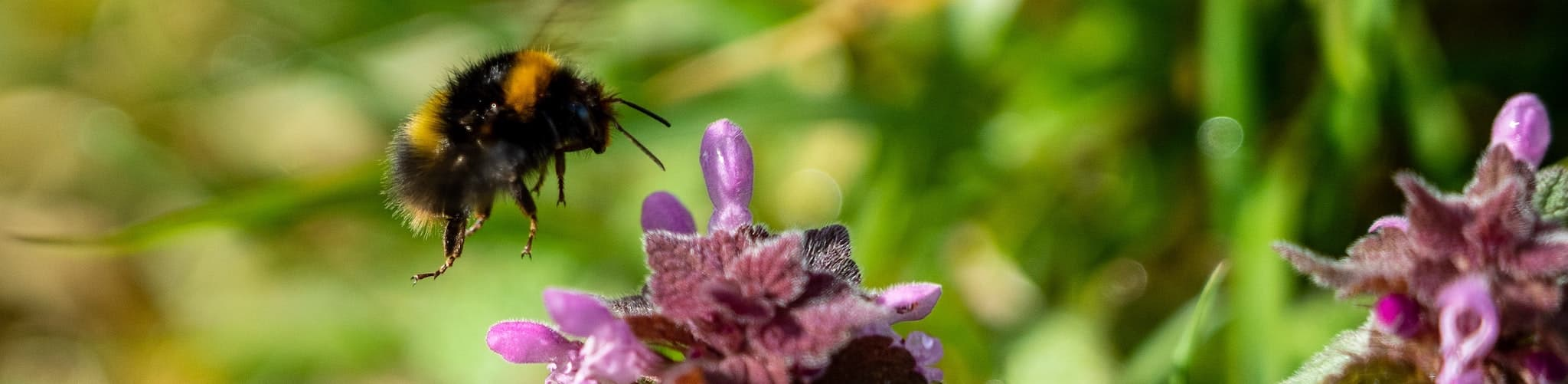 Pollinators Week (Photograph of Bee Pollinating a Flower