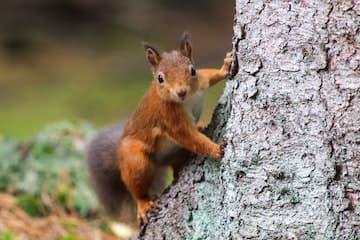Scottish Squirrel