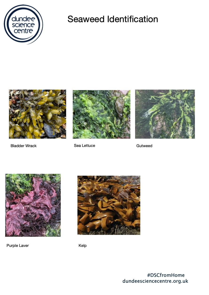 Seaweed Identification Activity Worksheet