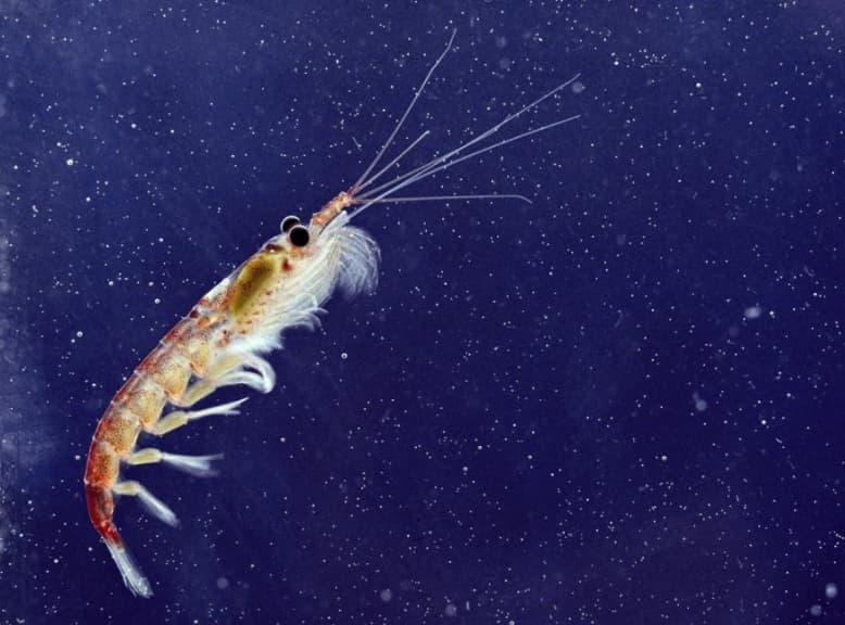 Shrimp Krill