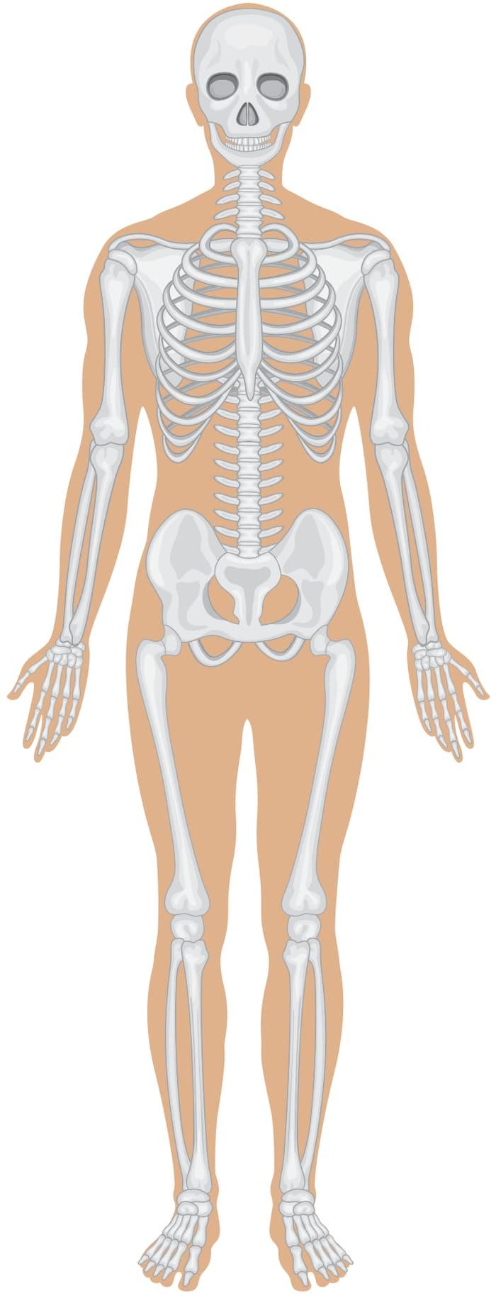 Bones In Your Body
