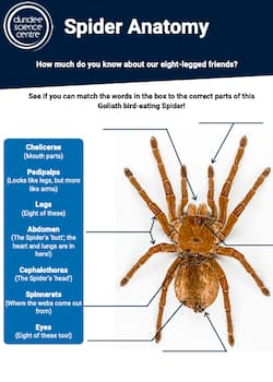 Spider Anatomy Worksheet