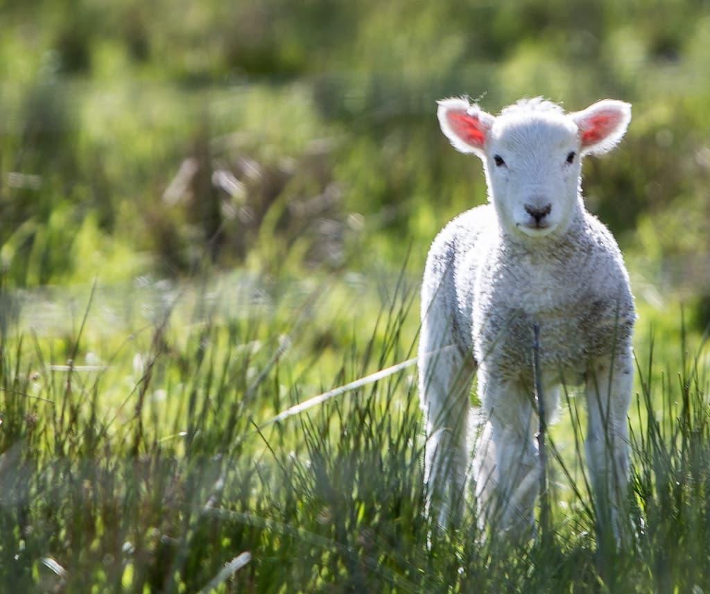 Photograph of Lamb