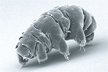 Tardigrade - One of Antarctica's Strangest Animals