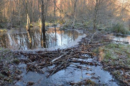 Tay Beavers Habitat